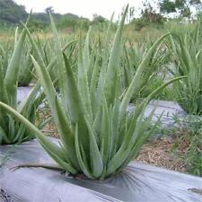 Aloe Vera Samen 100 Samen Edible Succulent Plant Rare Herbal Medicinal Vegetable