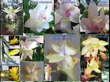 CHRISTMAS CACTUS Hatiora Schlumbergera 8 cuttings from 8 white/yellow varieties
