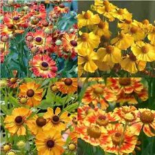 50+ Helenium Autumanl Helena Flower Seeds Mix / Perennial