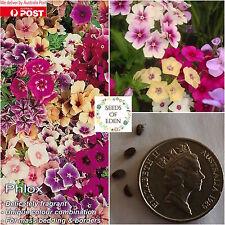 50 Phlox Tapestry Seeds(Phlox drummondii); Delicately fragrant