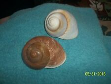 sea shell Giant Land Snail craft or aquarium  very nice individual <><