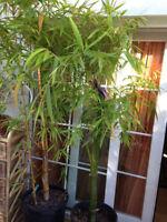 Riesen Zierbambus (Moso Bambus)  50 Samen  Winterhart  Idealer Sturmschutz