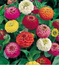 Zinnia Seeds Lilliput Mixture 1,000 Bulk Seeds Flower Seeds