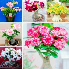 1 Pcs Seeds Desert Rose Bonsai Flowers Adenium Plants Mini Potted Tree Garden D