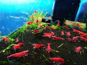 10 X NICE Neocaridina Red Cherry Freshwater Easy aquarium shrimp approx 1,5 CM