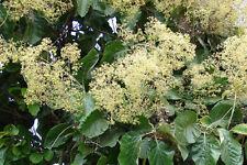 Tectona grandis 20 Seeds, Teak, Tik, Tree Tropical Hardwood Seeds Rare From Thai