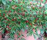 Zimmerchili bunt Chili * 10 Samen * Chiliernte das ganze Jahr * rot lila schwarz