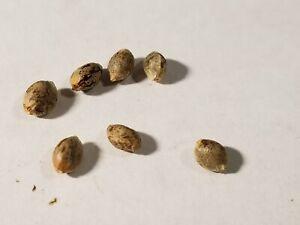 Exotic Seeds, Collectible bird Seeds, Souvenir Seeds, Female Amnesia Haze