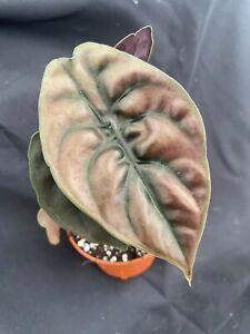 """Alocasia cuprea,  Rare and Unusual House Plant Shipped in 3"""" Pot"""