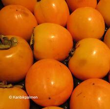 Diospyros KAKI 'Tipo' - Kakibaum - winterharte Pflanze 160-180cm leckere Früchte