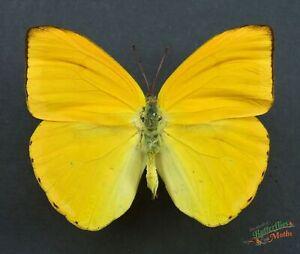 Orange Sulphur Butterfly  A1- SET x1 Phoebis Argante dried Insect Art Framing