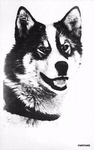 1920s Husky dog Real Photo postcard RPPC 4555