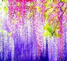 Very Rare Beautiful Imported Genuine Japanese Wisteria Flower Tree Seeds