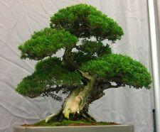 Moreton Bay Fig (Ficus Macrophylla) 50 Bonsai Seeds