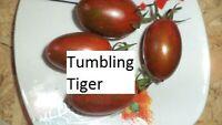 Tumbling Tiger Tomate 10 Tomaten Samen neue Ernte 2020 aus bio Anbau Nr.31