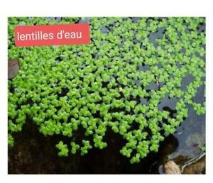 lentille d'eau lemna minor portion de 20 gr plante flottante bassin-aquarium