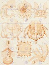 NATURE MEDUSAE ERNST HAECKEL SCIENCE D 12 X 16 INCH ART PRINT POSTER HP2237