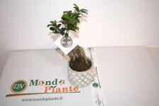 Bonsai Ficus Ginseng Vaso in Terracotta, Altezza 35cm