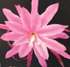 MICHELLE DAVIS Epiphyllum No 259 huge 28cm purple flowers cactus plant 80mm