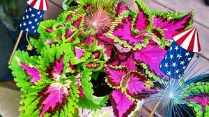 COLEUS SEEDS FEATURED ON JIMS WHOLIEST OF COLEUS