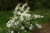 "Japanese Snowball Bush - Viburnum Popcorn - Established - 3 Plants in 2.5"" Pots"