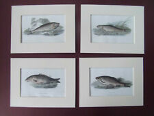 """FISH SET OF 4 ANTIQUE STEEL ENGRAVINGS DATE 1826 COLOURED & MOUNTED 6""""x8"""""""
