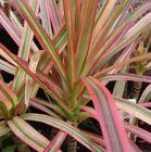 Colourama DRACAENA Marginata Tricolor RED Madagascar Dragon Tree plant 200mm pot