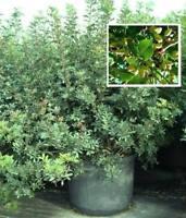 Pistazienbäume mediterrane Obstbäume Sträucher Büsche für den Garten Balkon Deko