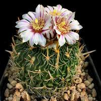 Stenocactus Erectocentrus, rare echinofosulocactus cactus exotic cacti  50 SEEDS