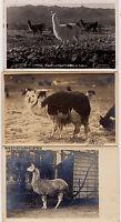 Lot 3 cartes postales anciennes - Lama et Alpaga