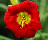 RED HOT LOVER 2012 Gossard  DAYLILY INTRODUCTION