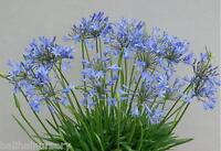 New Agapanthus Bluestorm  soft violet blue flowers garden perennial plant