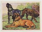 N°21 MASTIFF CHROMO CHIENS ANNEES 50/60