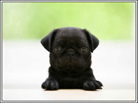 4 Puppy Dog Pug Greeting Notecards & Envelopes