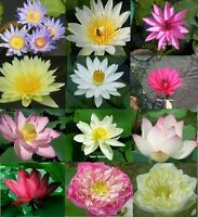 12(6+6) PACKS WATER LILY + LOTUS SEEDS POND PLANT FRESH SEED AND VIABLE