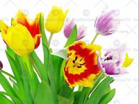 TULIPS WHITE FLOWERS SPRING PHOTO ART PRINT POSTER PICTURE BMP446B