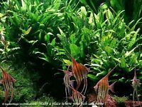 Java Fern -for live aquarium plecostomus algae eater B5