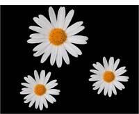 3 x Daisy Flower Car,Camper Van Mirror Stickers Decals