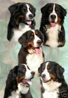 Bernese Mountain Dog Blank Card Design No 1 - Starprint