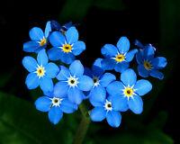 MYOSOTIS NO ME OLVIDES  azul  500 Semillas Seeds