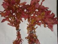 10 PINK ROTALA MACRONDRA  AQUATIC AQUARIUM LIVE FISH TANK PLANT TROPICAL PLANTS