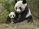 Panda Bear 8 x 10 / 8x10 GLOSSY Photo Picture IMAGE #2