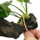 Driftwood String - Attach Java Fern Anubias Echinodorus Aquarium Live Plant Fish