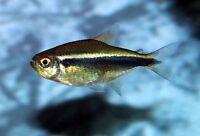 10 BLACK NEON TETRA - PEACEFUL TROPICAL FISH