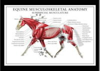 146669 Equine Musculoskeletal Anatomy Wall Print Poster UK