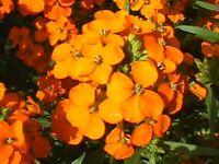 Siberian Wallflower ,Cheiranthus Allionii  1Gram approx 600 Seeds