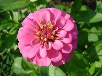 ZINNIA - GIANT PINK  Elegans  100 Seeds