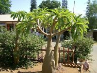 8 Semillas - Rara Palma de Madagascar - PACHYPODIUM LAMEREI - Jardin Palmera