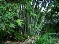 Bambu de Hierro - DENDROCALAMUS STRICTUS - 9 Semillas