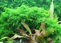 Xmas Moss - Aquarium Fish Tank 55 75 90 100 125 Gallon